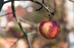 Una singola mela rossa su un albero, in autunno fotografia stock libera da diritti