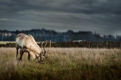 Una singola renna in un campo che mangia su una certa erba immagini stock