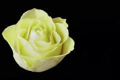 Una singola testa di Rosa gialla Immagini Stock