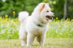 Una situación blanca del perrito del samoyedo con las flores amarillas en un prado foto de archivo