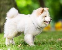 Una situación blanca del perrito del samoyedo en un campo con un árbol en el fondo del lado fotos de archivo libres de regalías