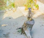 Una situación linda del meerkat en un tocón de árbol un animal salvaje del carnívoro del desierto africano fotografía de archivo