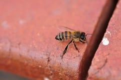 Una sola abeja Imagen de archivo