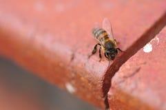 Una sola abeja Fotos de archivo