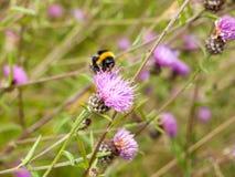 Una sola abeja detalladamente en un cardo rosado Fotos de archivo libres de regalías