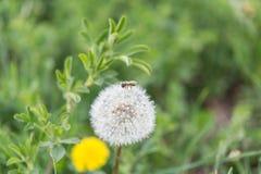 Una sola abeja en un diente de león Fotografía de archivo libre de regalías
