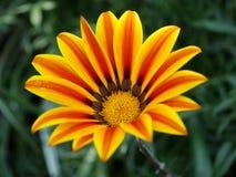 Una sola flor amarilla con las rayas anaranjadas foto de archivo