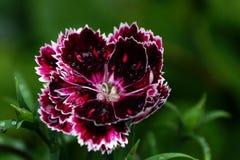 Una sola flor del clavel foto de archivo libre de regalías