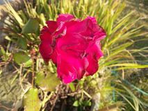 Una sola flor roja en la visión natural con el árbol del té bajo luz del sol como fondo Imagenes de archivo