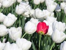 Una sola flor roja que se coloca hacia fuera en un campo lleno de tulipanes blancos fotos de archivo libres de regalías