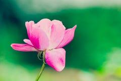 Una sola rosa rosada y blanca contra un bokeh verde claro Imágenes de archivo libres de regalías