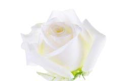 Una sola Rose blanca aislada en el fondo blanco Fotos de archivo libres de regalías