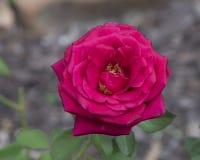 Una sola Rose roja Fotografía de archivo