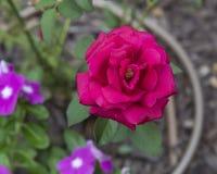 Una sola Rose roja Fotos de archivo