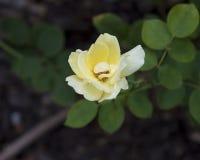 Una sola Rose roja Imagen de archivo
