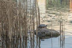 Una sola tortuga está descansando sobre una piedra en centro de un lago con la caña en el fondo Fotografía de archivo