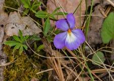 Una sola violeta del Pájaro-pie imagen de archivo