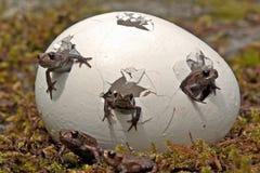 Una sorpresa m?s buena Amarre la rana, ni?os de los arvalis del Rana foto de archivo
