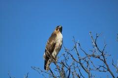 Una sorveglianza del falco Fotografia Stock Libera da Diritti