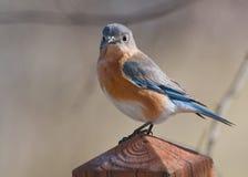 Una sorveglianza orientale del Bluebird. Fotografia Stock Libera da Diritti