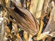 Una spiga del granoturco con le sue foglie Fotografia Stock Libera da Diritti