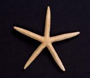Una stella marina su fondo nero Fotografia Stock