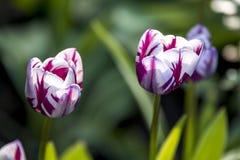 Una storia del tulipano fotografie stock libere da diritti