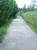 Una strada va fra gli alberi e le piante della canna da zucchero immagini stock libere da diritti