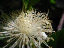 Una struttura bianca del polline del fiore della guaiava nella macro immagini stock