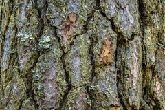 Una struttura dell'immagine della corteccia di un albero fotografia stock libera da diritti