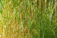Una struttura organica, erba verde sottile alta Fotografia Stock