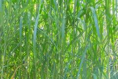 Una struttura organica, erba verde sottile alta Immagine Stock