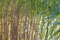Una struttura organica, erba verde sottile alta Immagini Stock