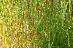 Una struttura organica, erba verde sottile alta Fotografia Stock Libera da Diritti
