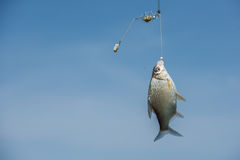 Una subida de los pescados al cebo fotografía de archivo libre de regalías
