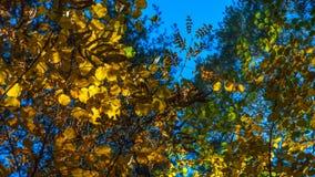 Una tarde en Autumn Forest Looking Up The Crown de hojas verdes, amarillas, de oro con Sunny Highlights Autumn Colors, Chan imagen de archivo