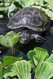 Una tartaruga fotografia stock