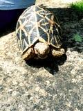 Una tartaruga della stella immagini stock libere da diritti