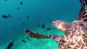 Una tartaruga galleggia verso l'alto archivi video