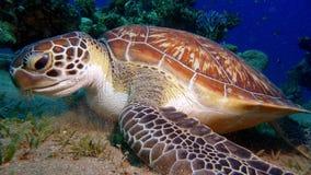 Una tartaruga inquisitrice Fotografia Stock Libera da Diritti