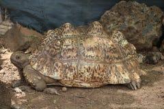 Una tartaruga marrone che si siede nella tonalità Immagini Stock Libere da Diritti