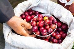 Una taza de cerezas en saco imagen de archivo libre de regalías
