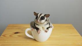 Una tazza di sugarglider fotografia stock libera da diritti