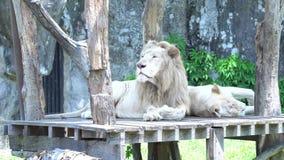 una terra di legno di menzogne di 2 grandi leoni, cercante qualcosa nello zoo, il bello anima stock footage