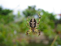 Una tessitura del ragno Immagini Stock
