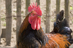 Una testa del gallo e una metà del corpo Fotografia Stock