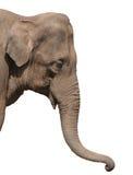 Una testa dell'elefante isolata Fotografia Stock