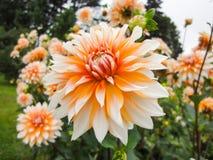 Una testa della dalia nel giardino nel giorno soleggiato di estate fotografia stock