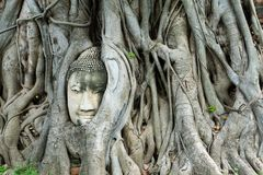 Una testa di Buddha sta tenendo sulle radici dell'albero fotografia stock libera da diritti