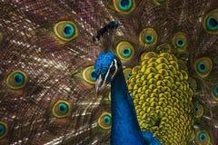 Testa di un pavone Immagine Stock